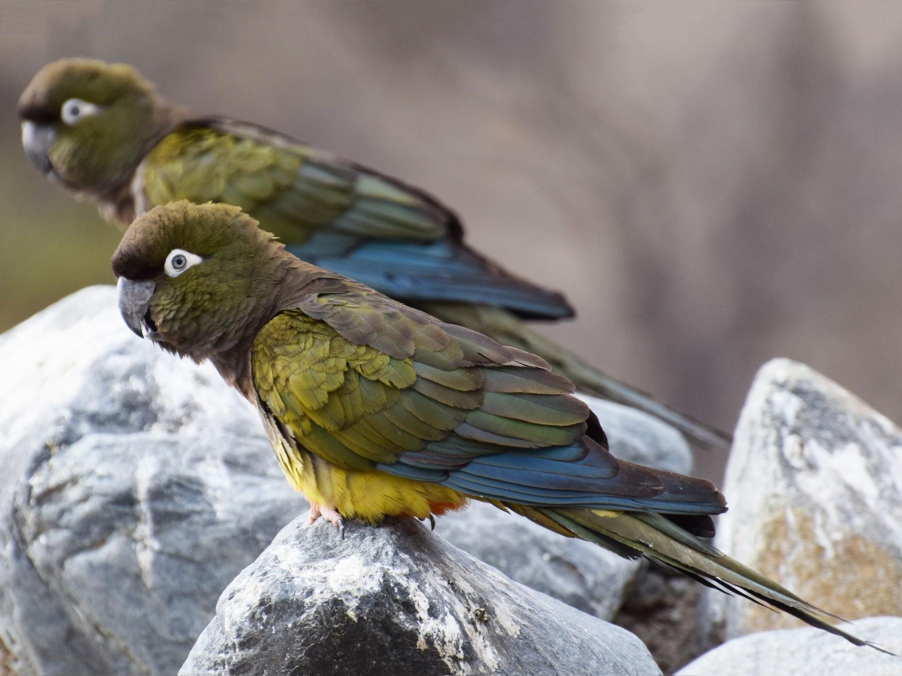 Burrowing Parakeet - Gabriele Vallejos