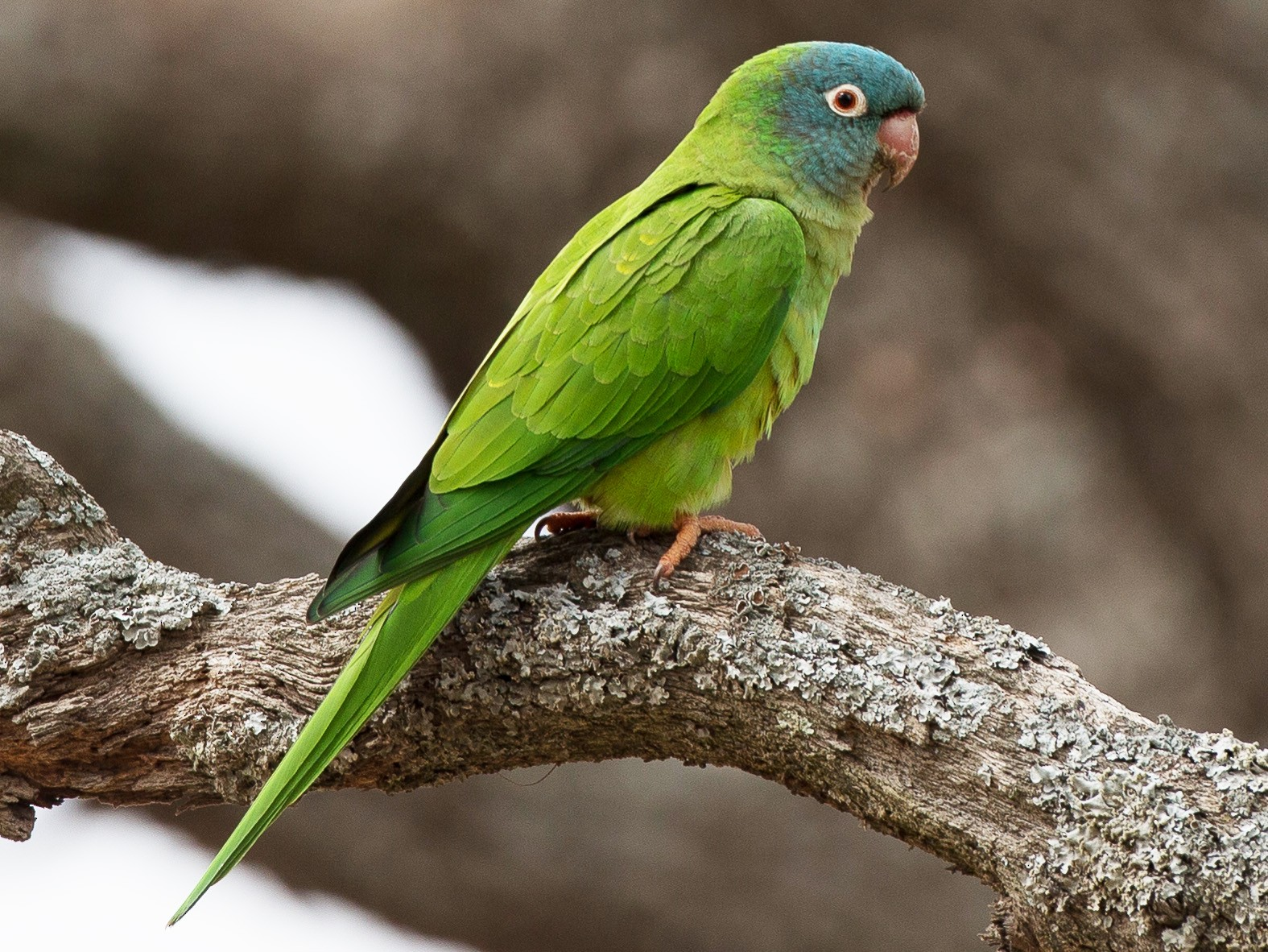 Blue-crowned Parakeet - Chris Wood