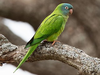 - Blue-crowned Parakeet