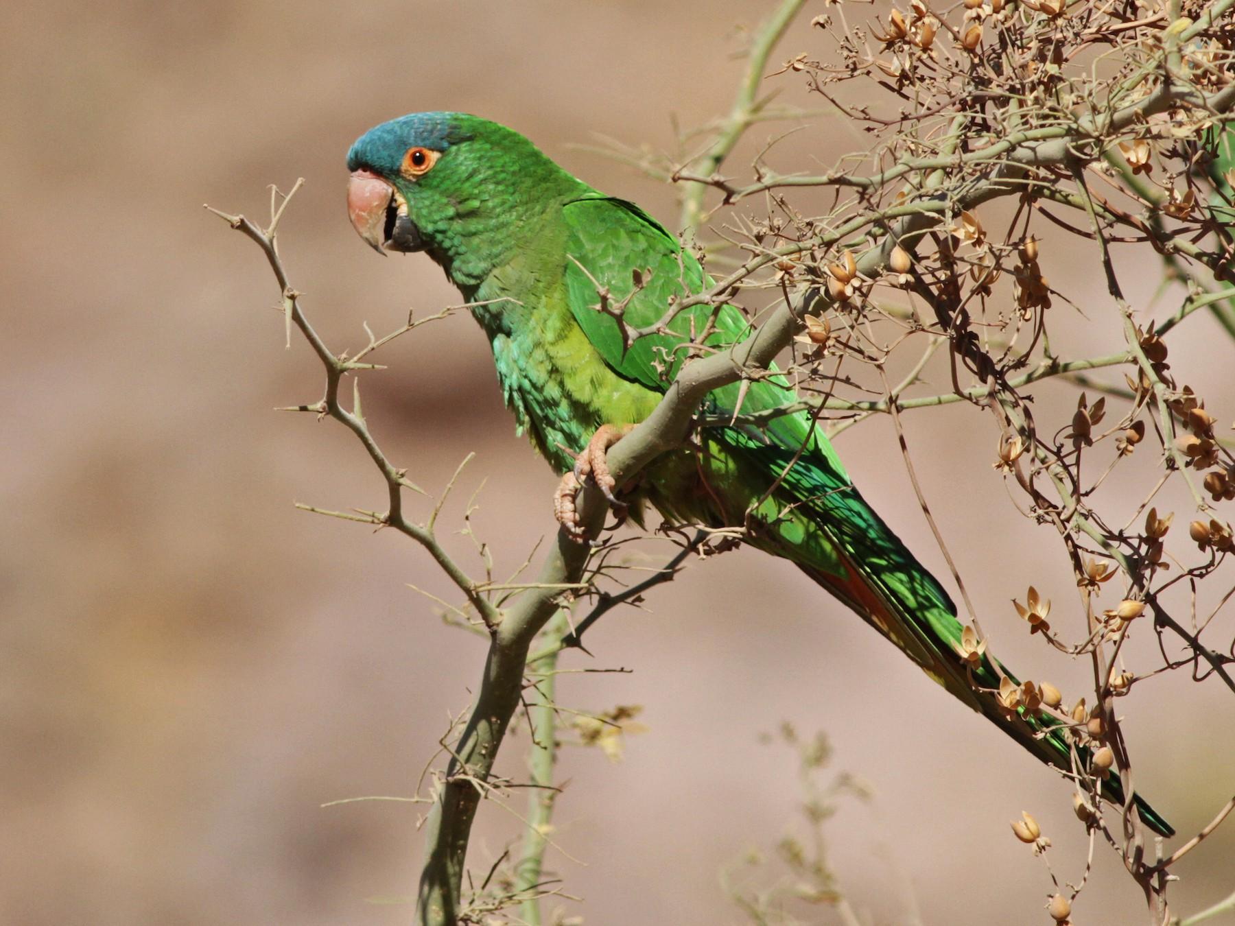 Blue-crowned Parakeet - Ian Davies
