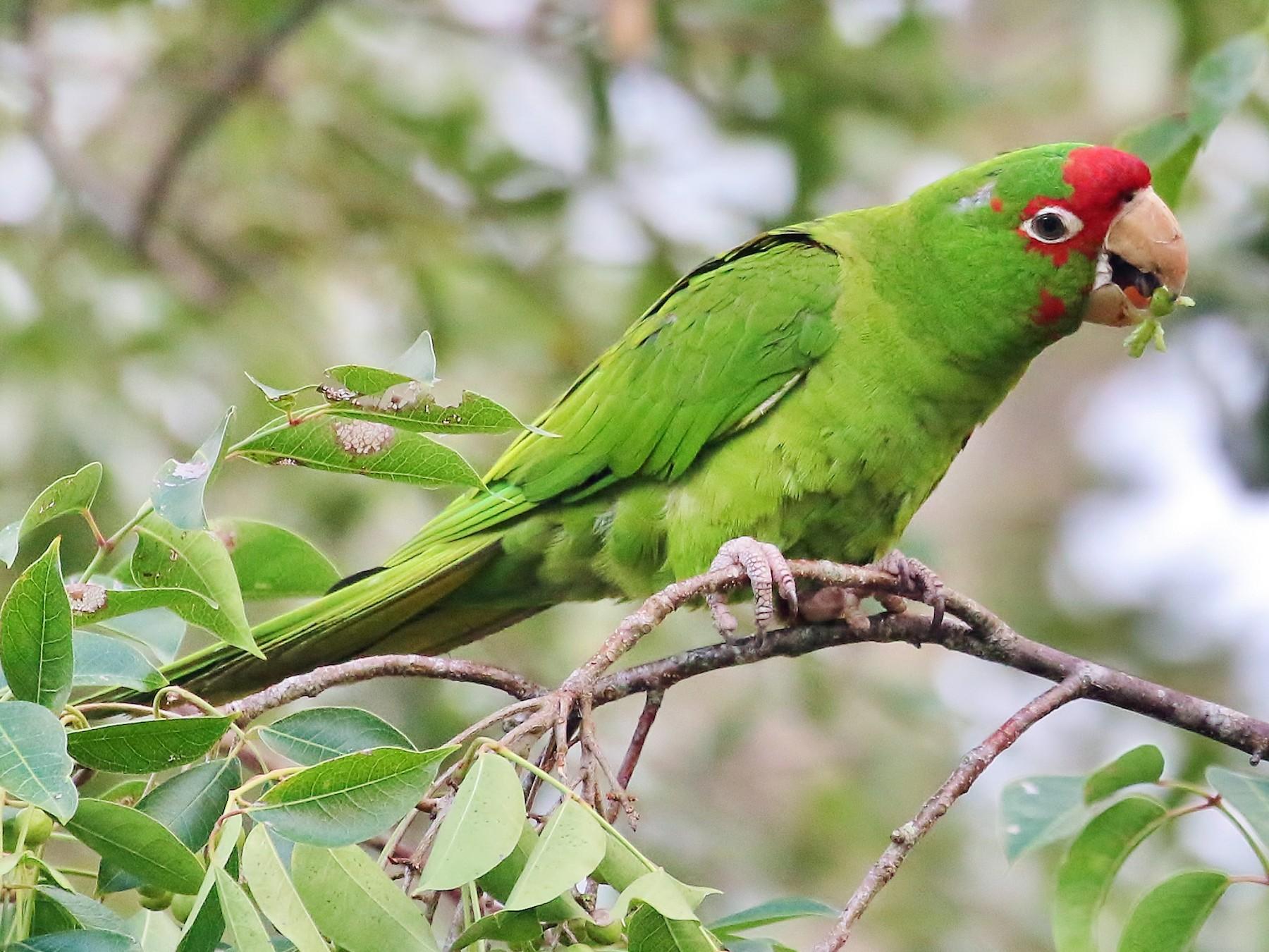 Mitred Parakeet - Musa Awan