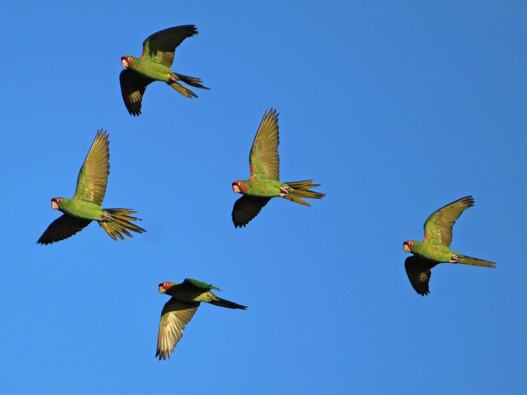 Mitred Parakeet - Omar Paez