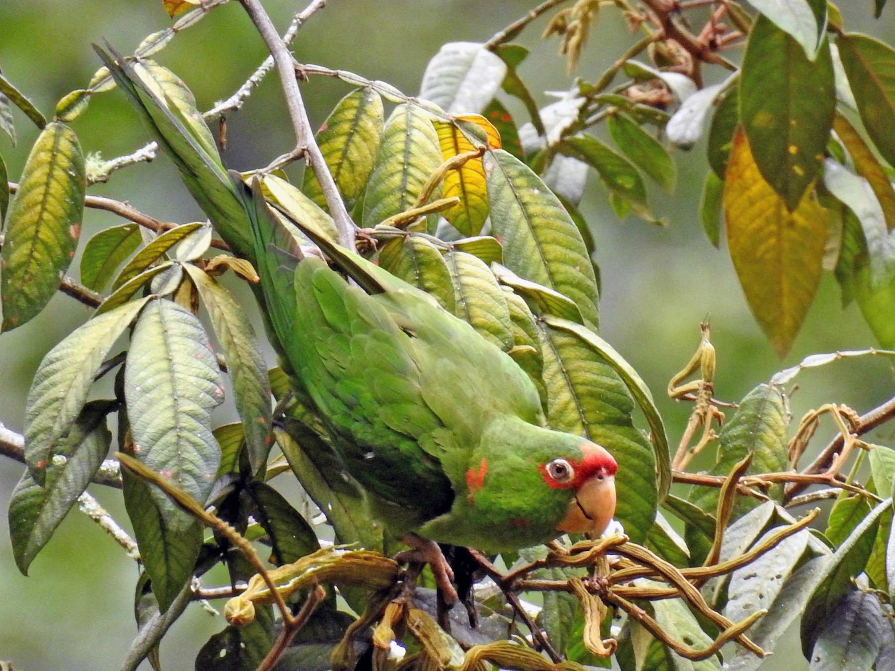 Mitred Parakeet - Fernando Angulo - CORBIDI