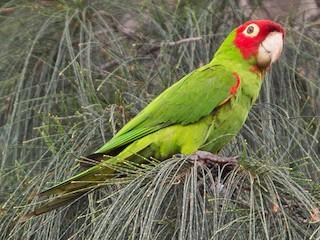 - Red-masked Parakeet