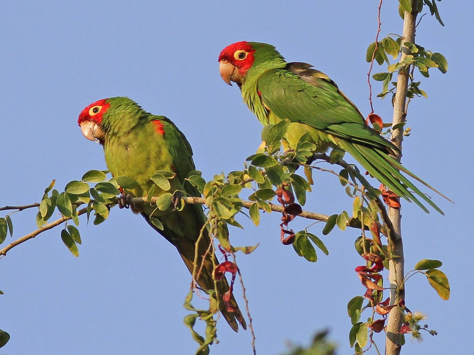 Red-masked Parakeet - Daniel Jauvin