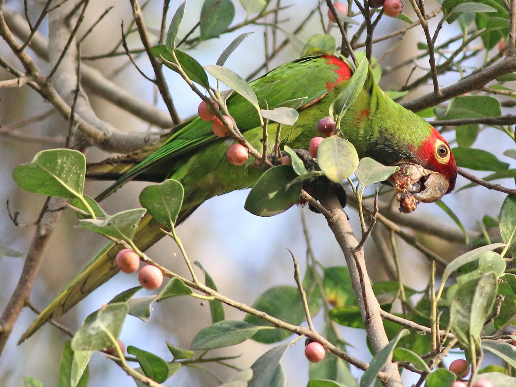 Red-masked Parakeet - Nick  Kontonicolas
