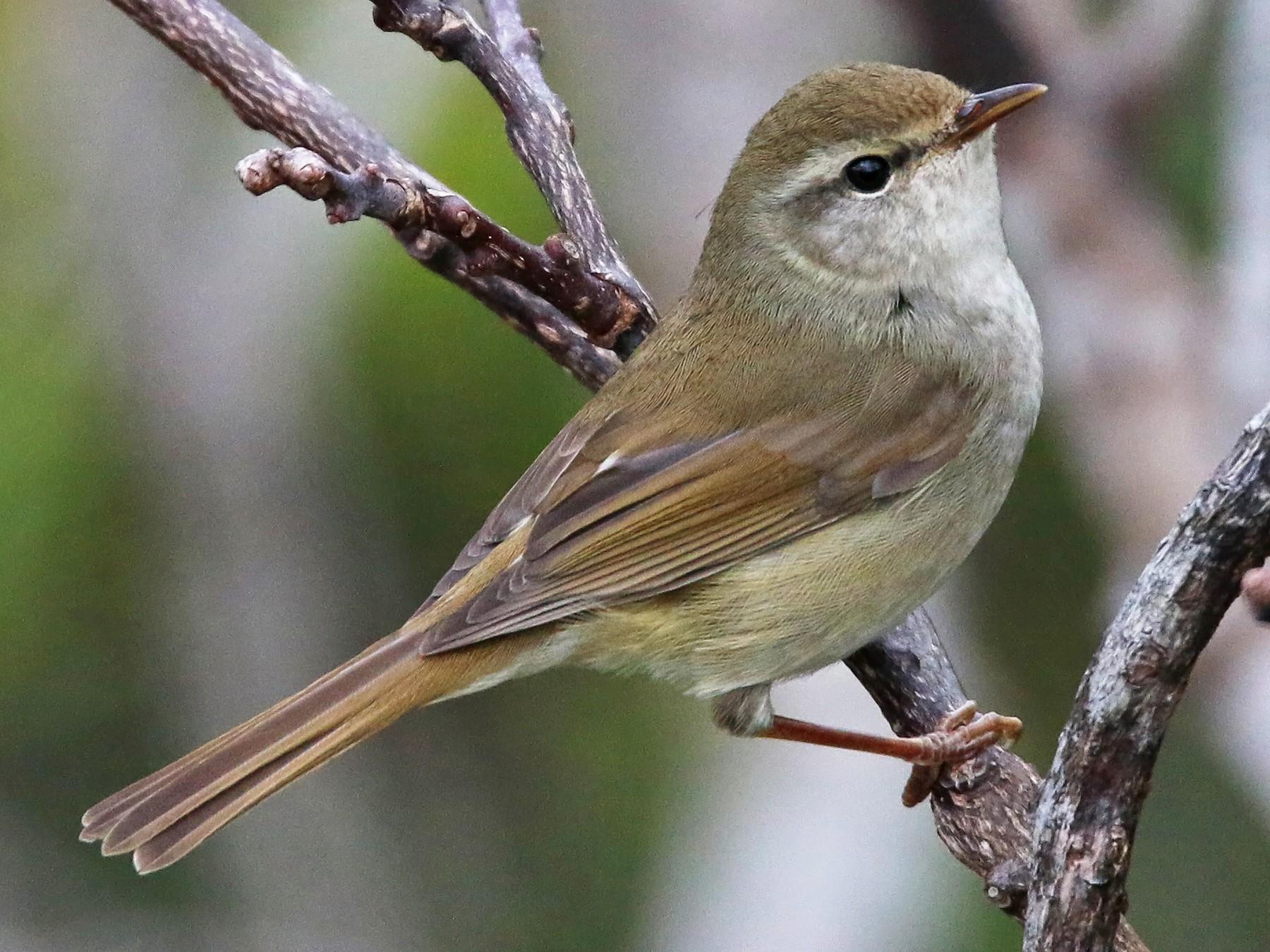 Japanese Bush Warbler - Ian Davies