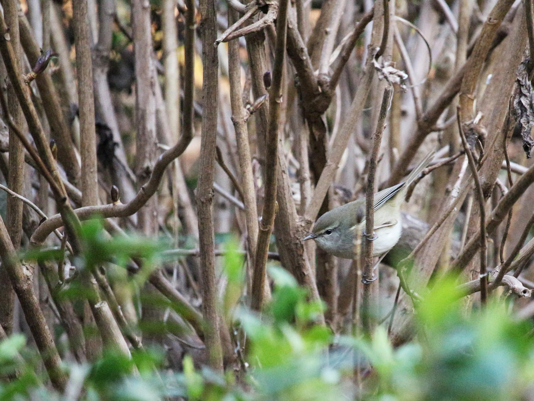 Japanese Bush Warbler - Gus  Go