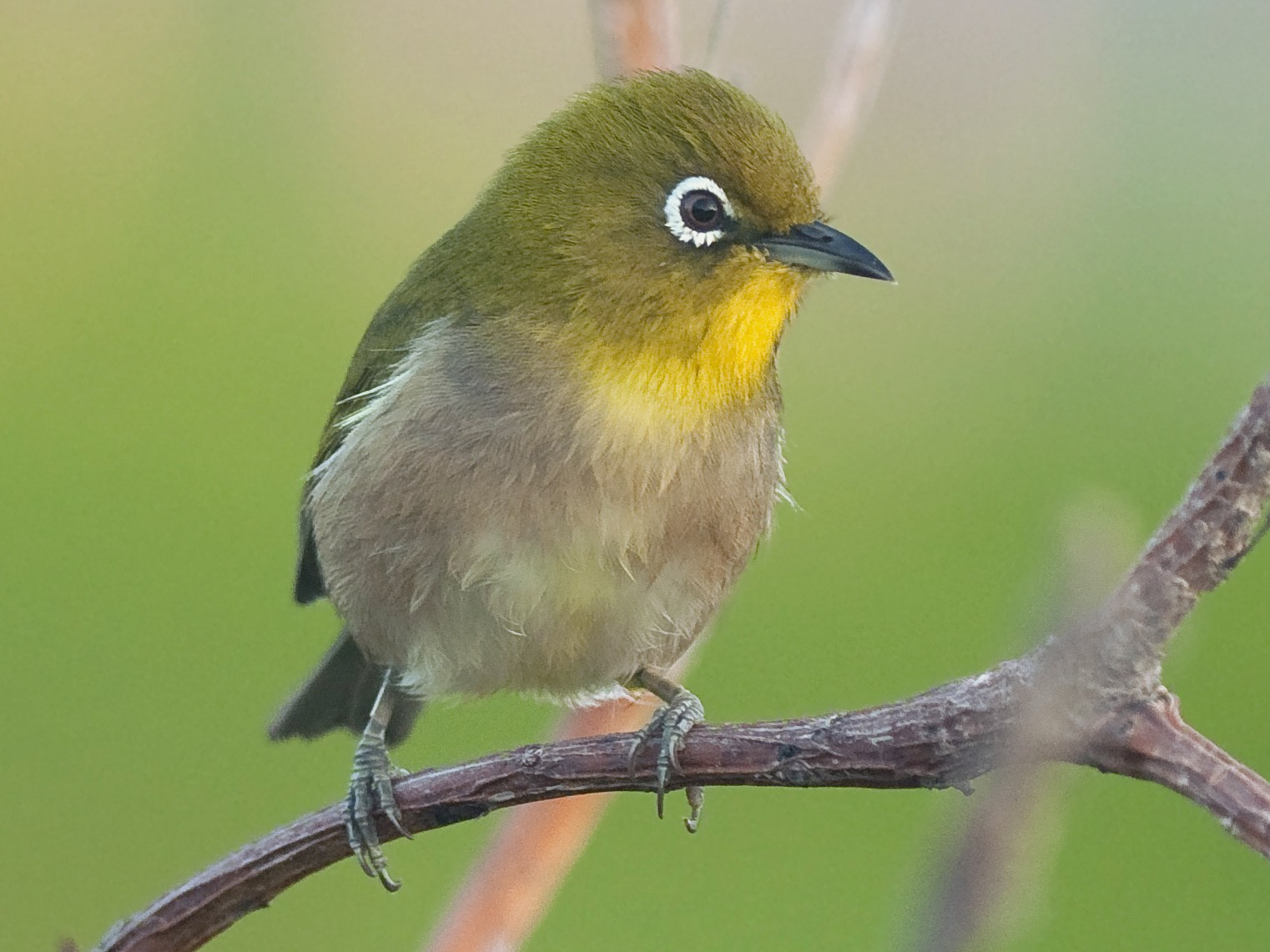 Warbling White-eye - Etienne Artigau