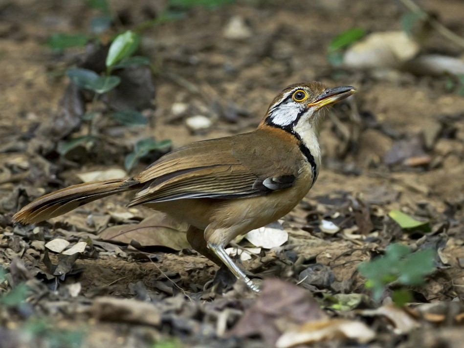 Greater Necklaced Laughingthrush - Charley Hesse https://www.schoolofbirding.com/