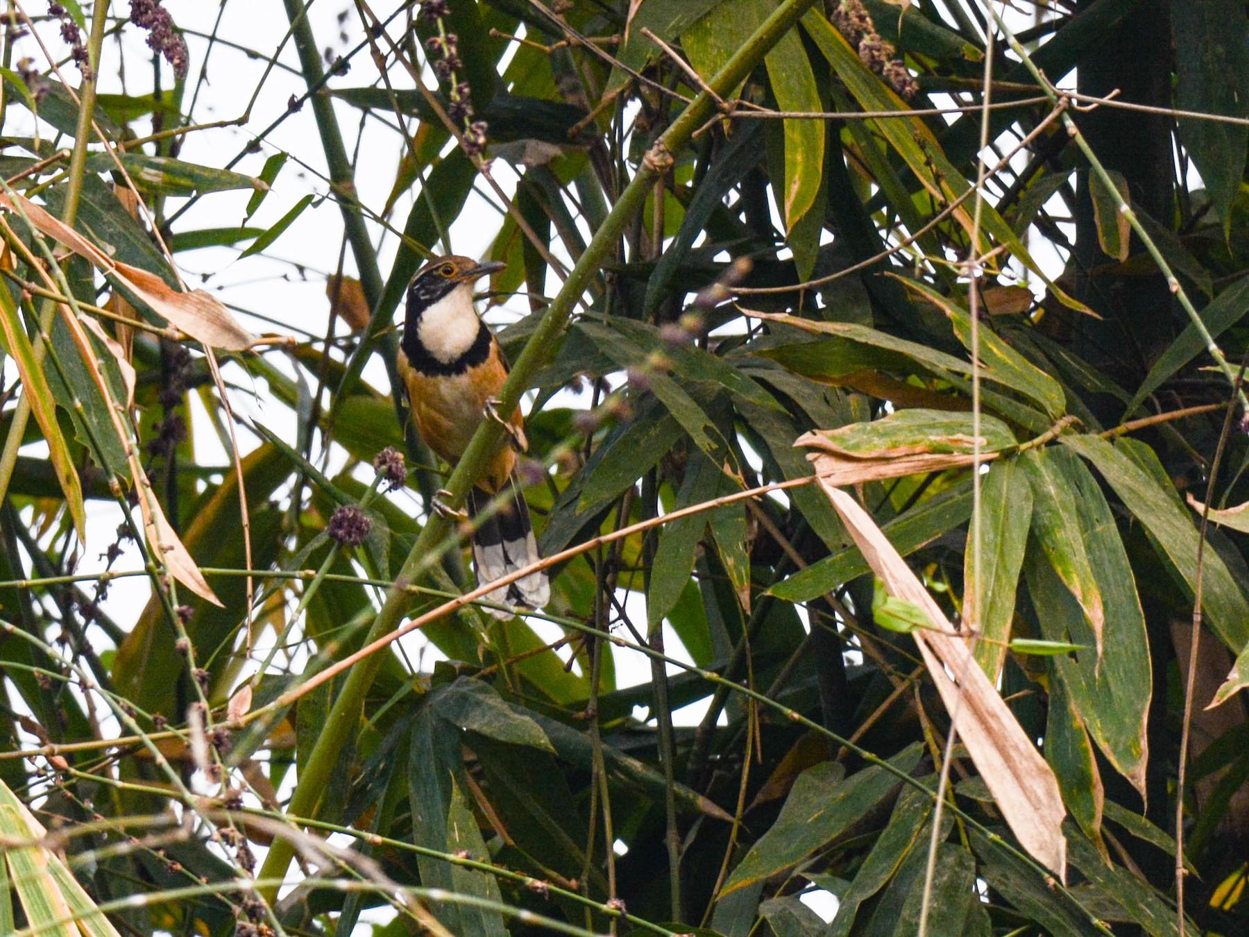 Greater Necklaced Laughingthrush - Jitendra Sarmah