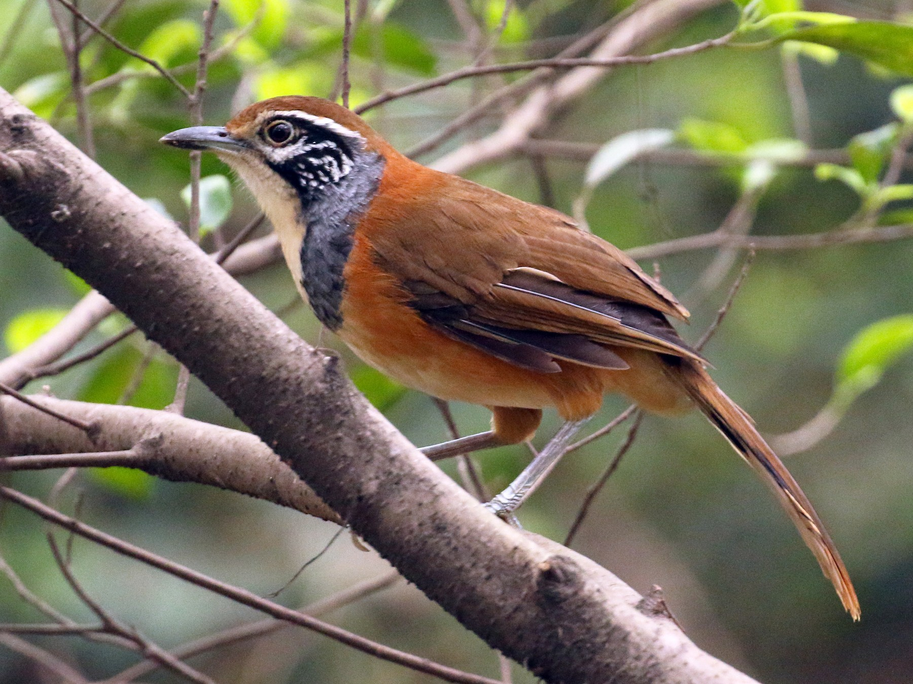 Greater Necklaced Laughingthrush - Tommy Pedersen