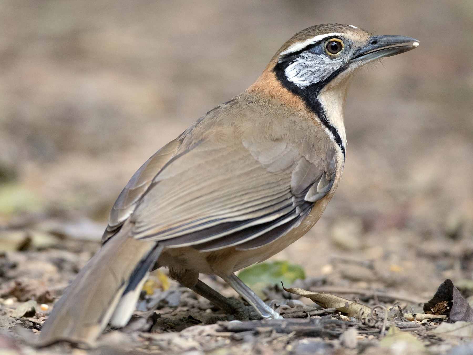 Greater Necklaced Laughingthrush - Ian Davies