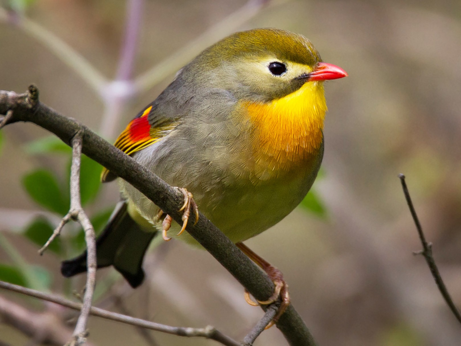Red-billed Leiothrix - Ian Davies