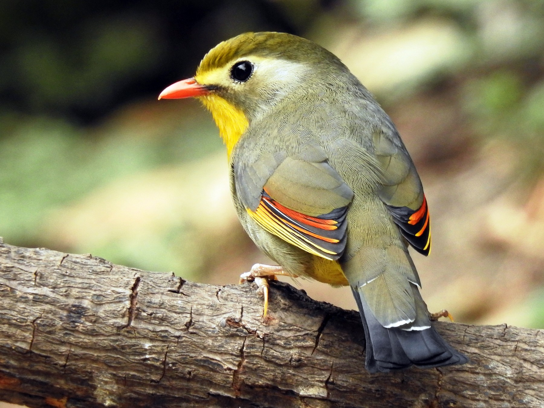 Red-billed Leiothrix - Sachin  Main