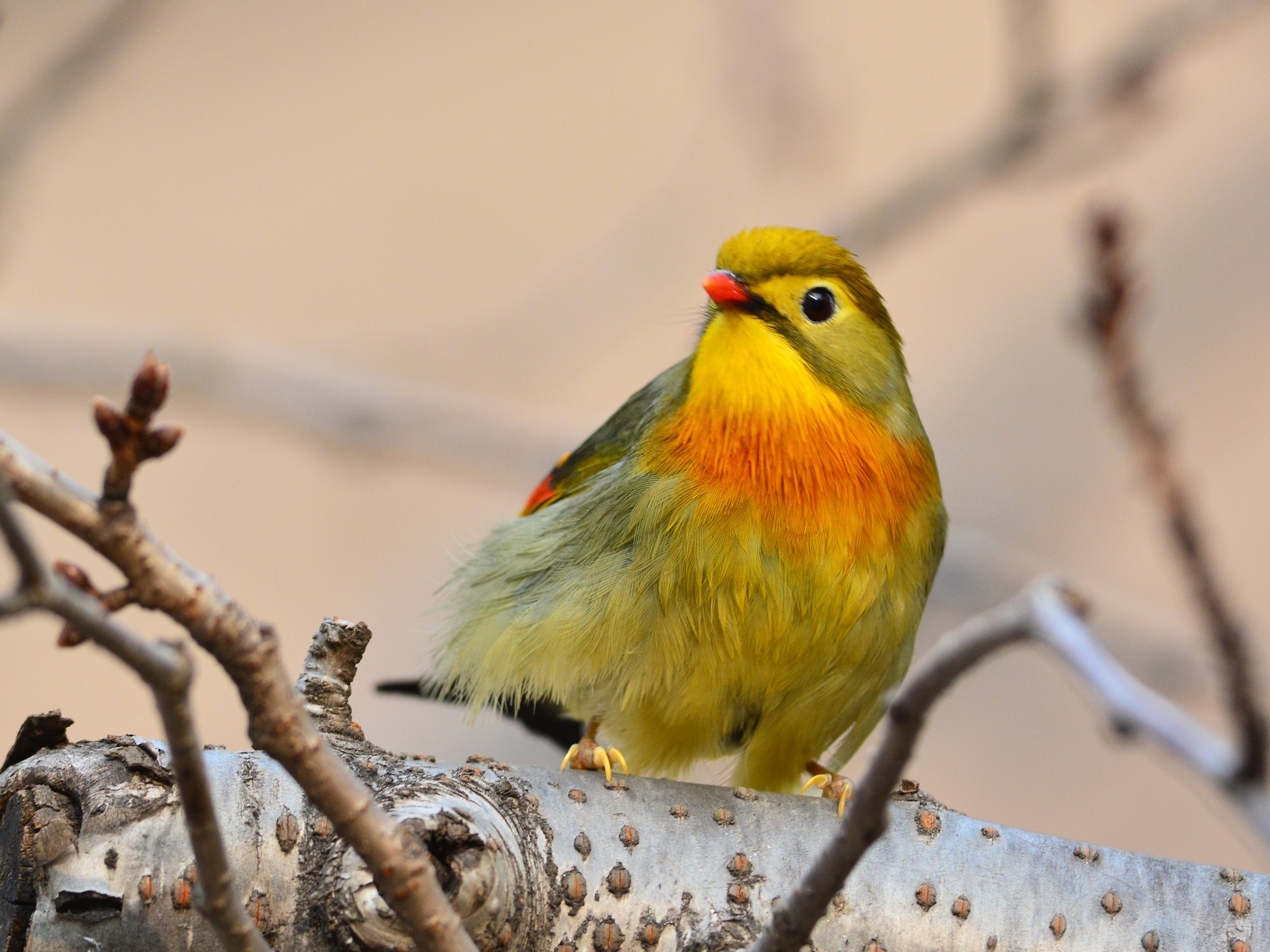 Red-billed Leiothrix - Da Chih Chen
