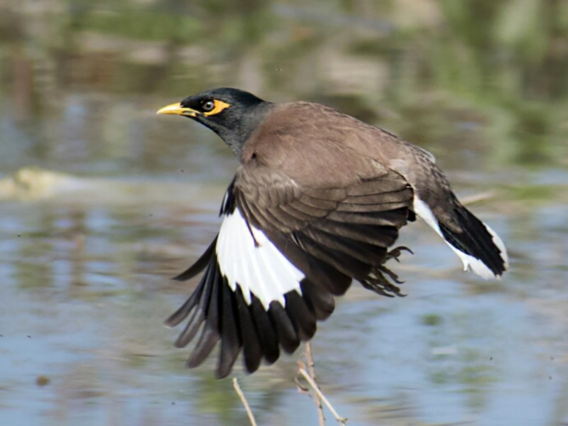 Common Myna - Vivek Rawat