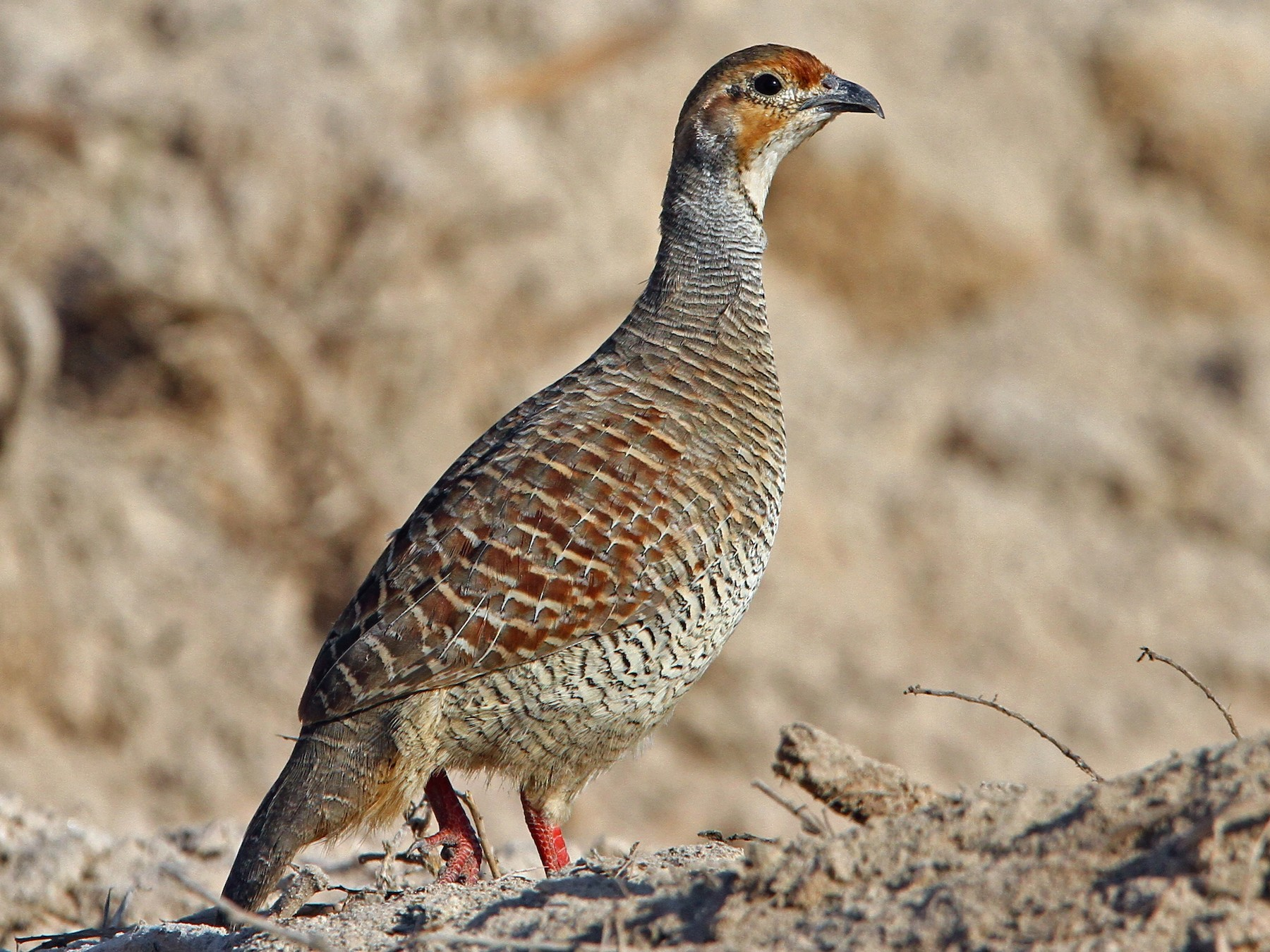 Gray Francolin - Christoph Moning