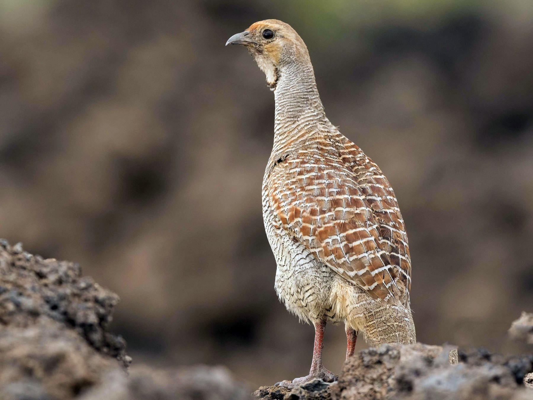 Gray Francolin - Brad Argue