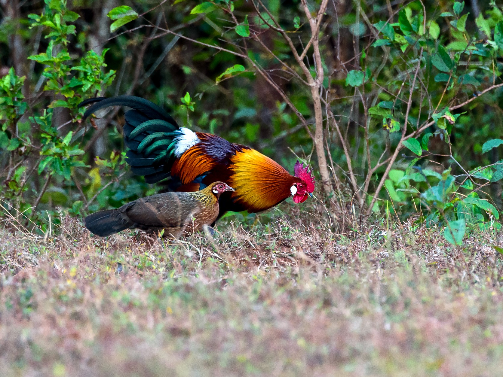 Red Junglefowl - George Pagos