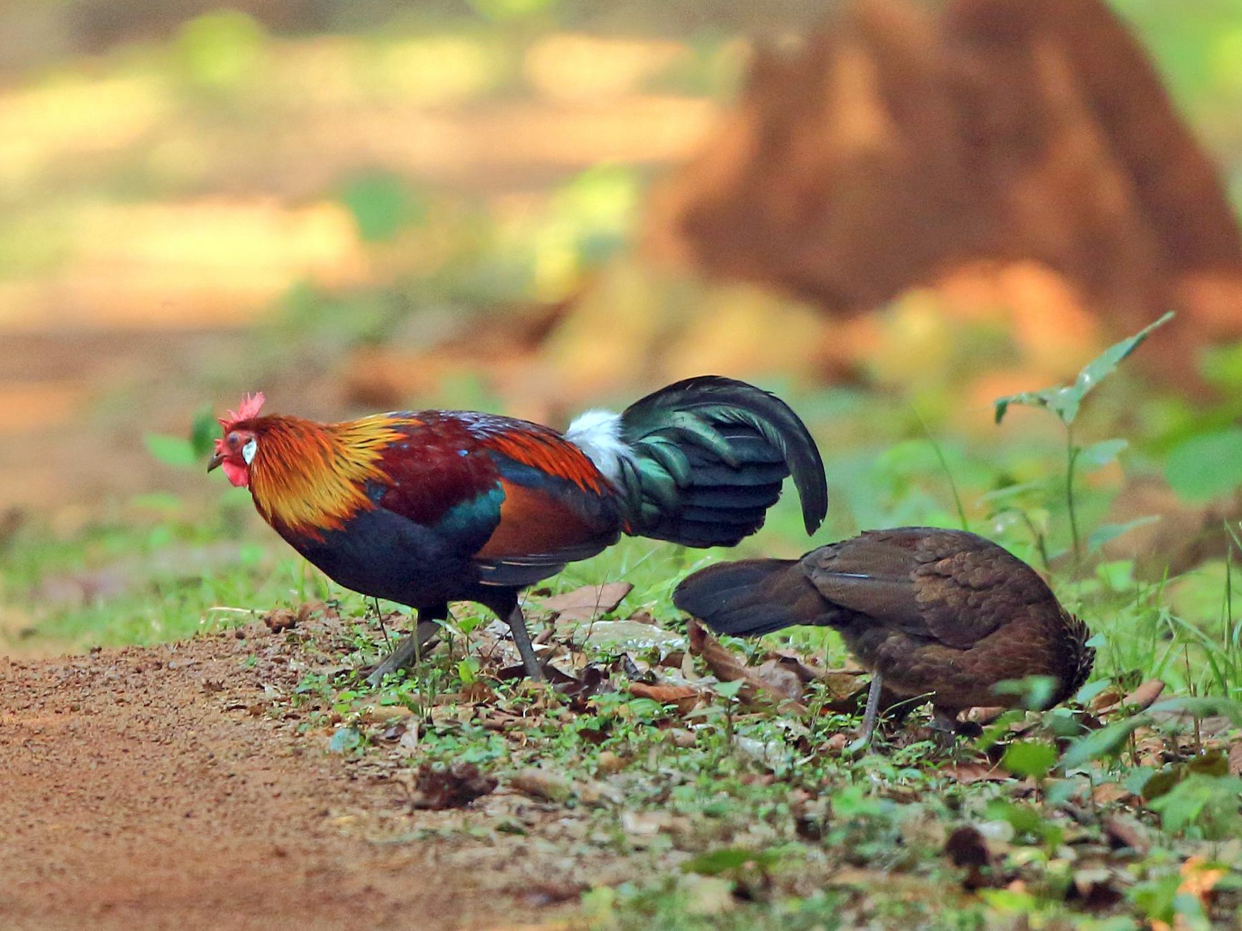 Red Junglefowl - Arnab Pal