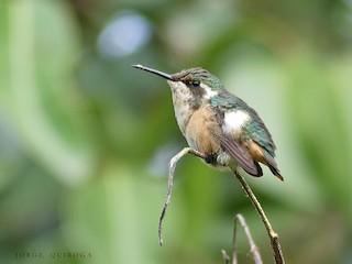 - Slender-tailed Woodstar