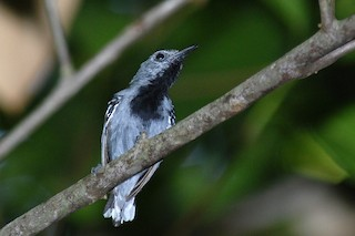 - Band-tailed Antwren