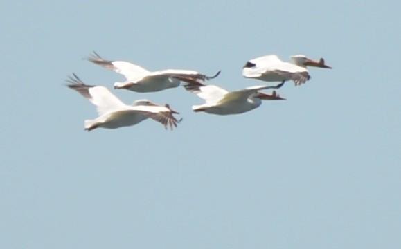 ©Spencer Vanderhoof - American White Pelican