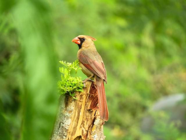 Female (presumably subspecies <em>yucatanicus</em>).