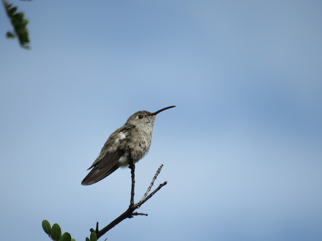 Spot-throated Hummingbird