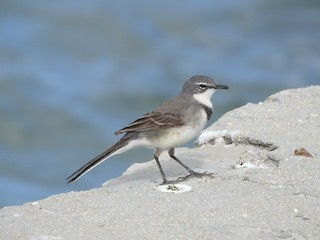 - Cape Wagtail