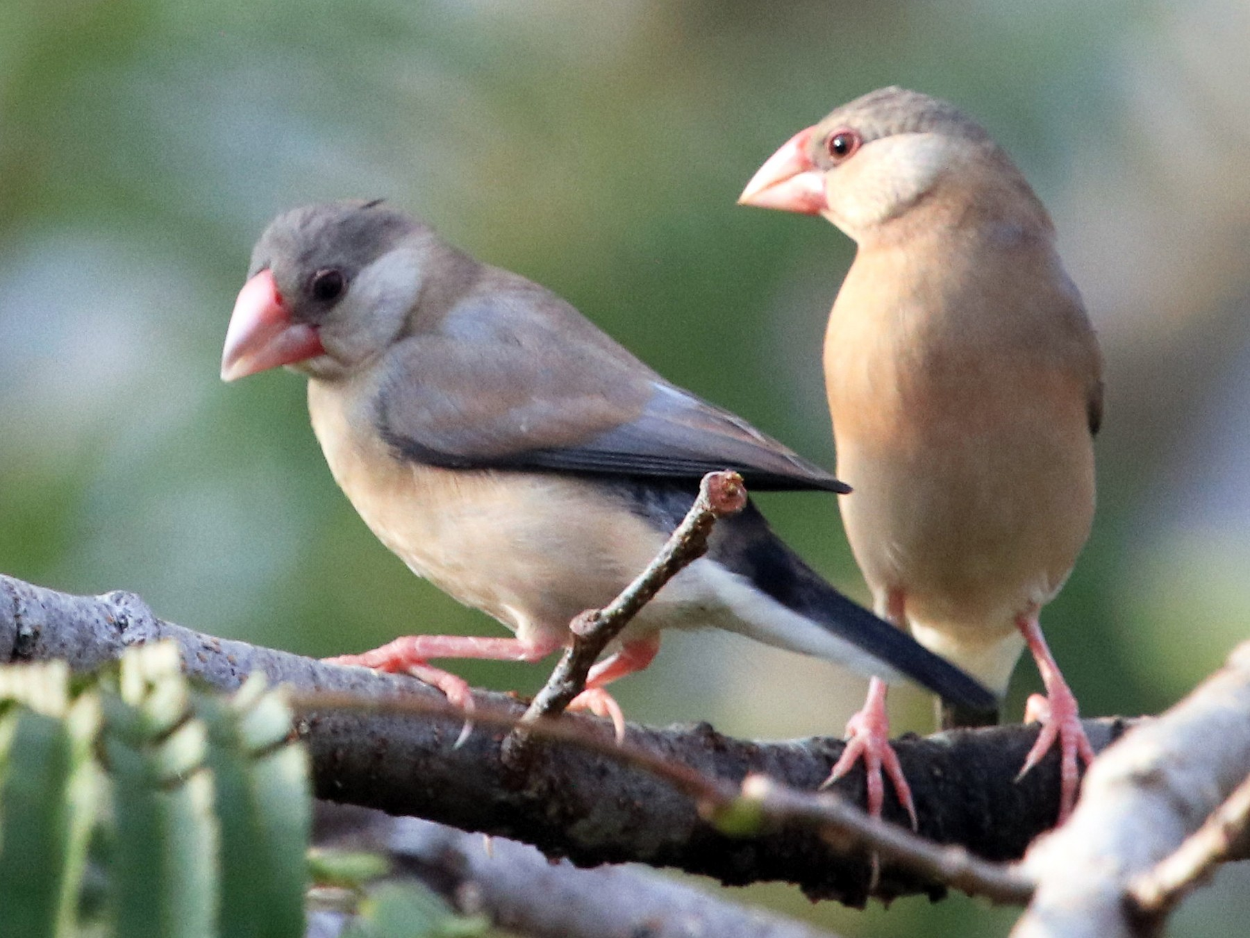 Java Sparrow - Siti Sutedjo