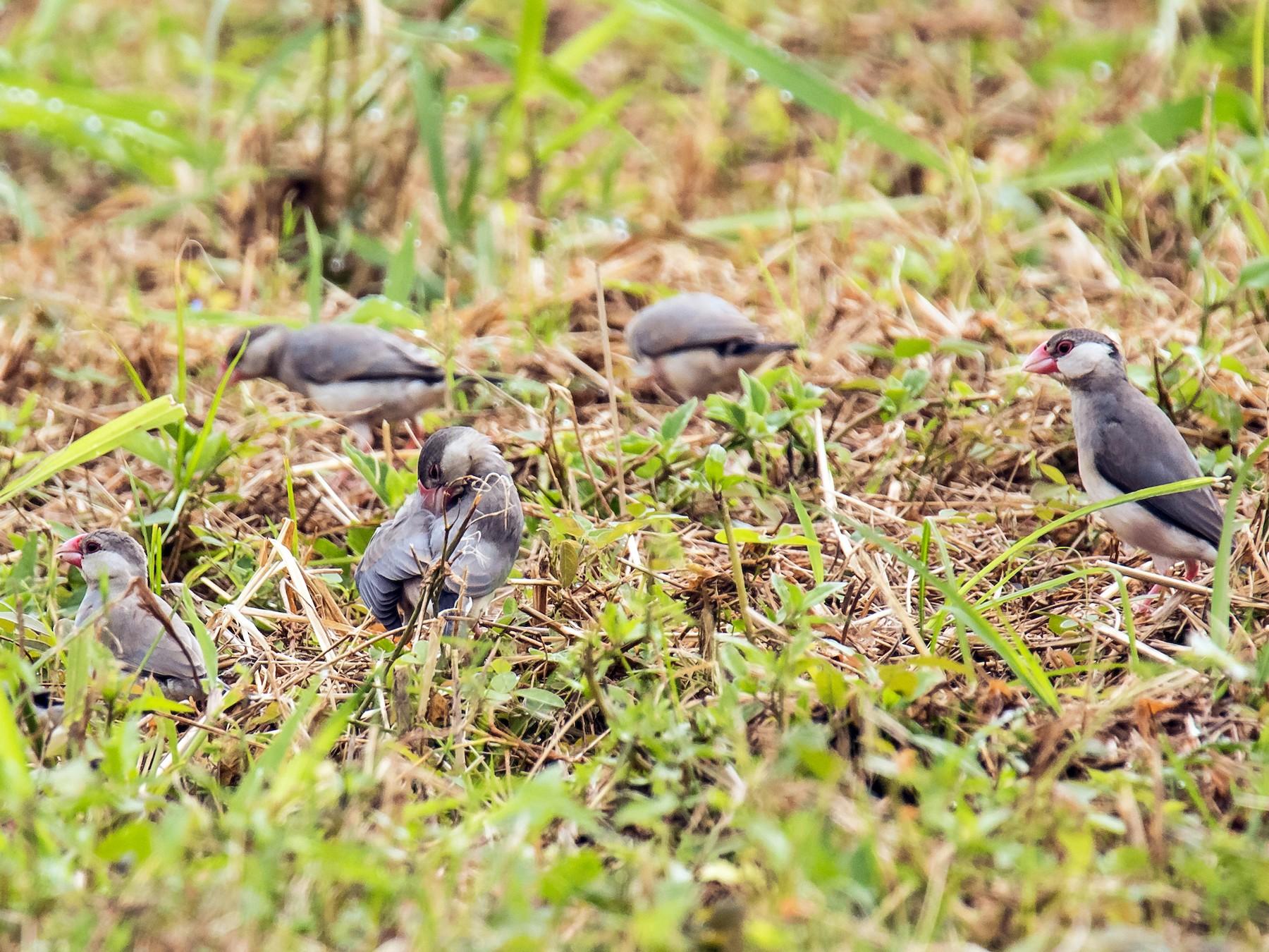 Java Sparrow - Djop Tabaranza