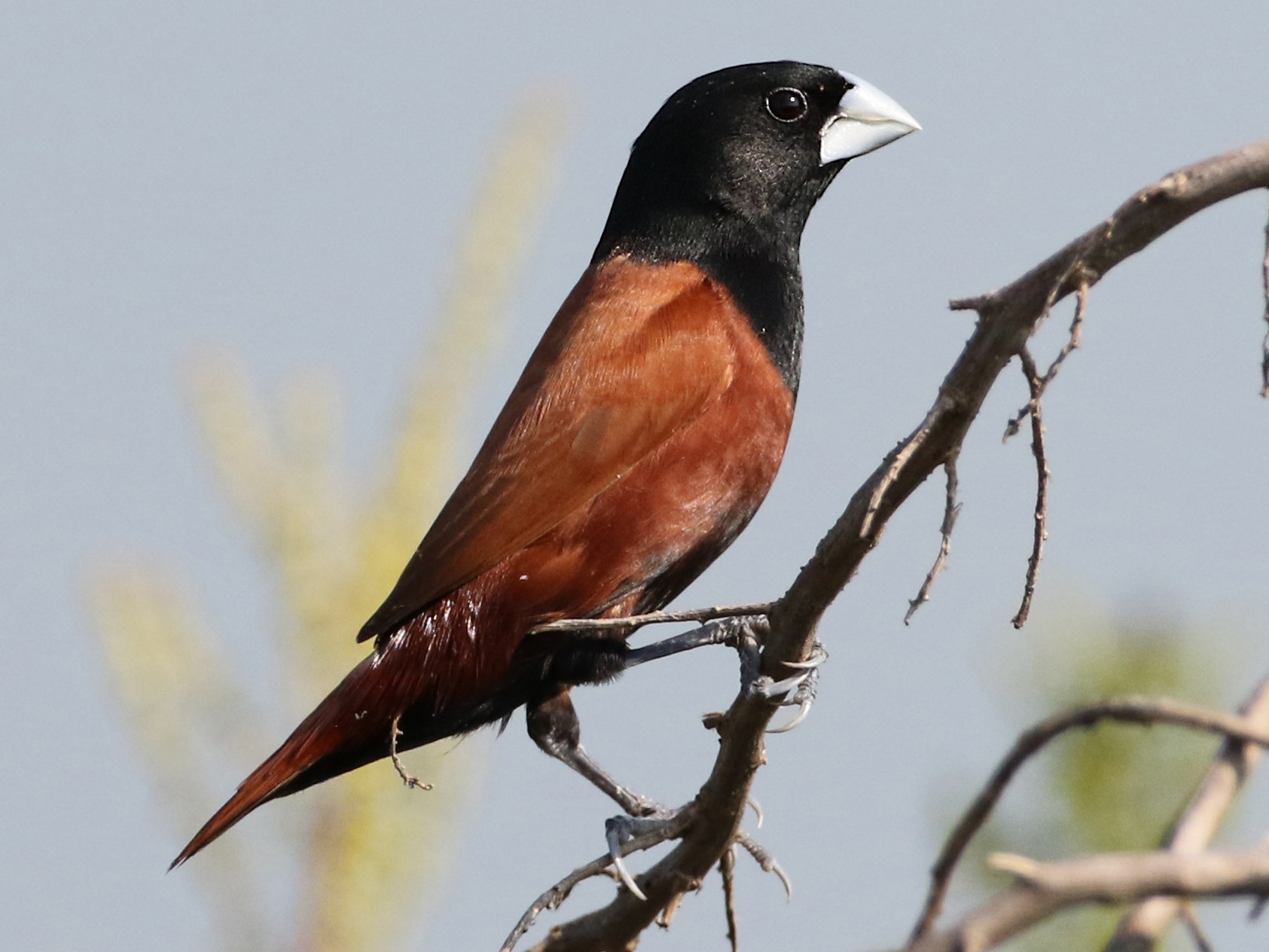 Chestnut Munia - Luke Seitz