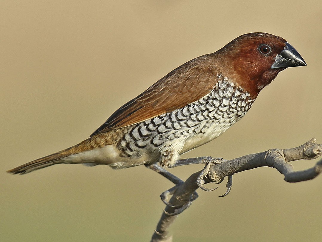 Scaly-breasted Munia - Jens Eriksen