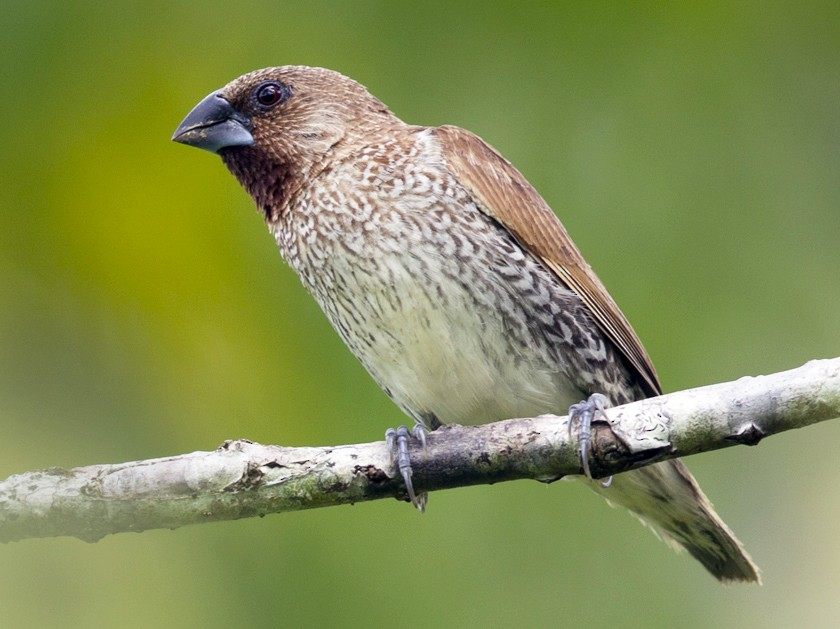 Scaly-breasted Munia - Mat Gilfedder