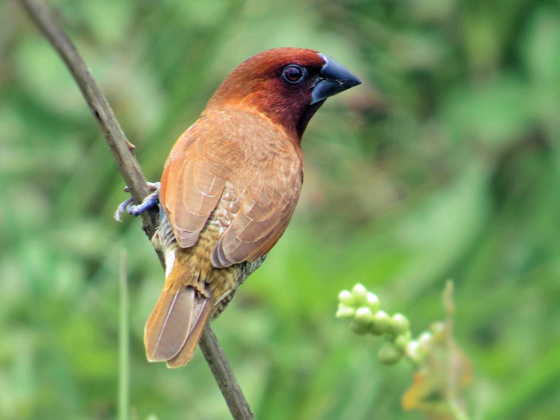 Scaly-breasted Munia - Ian Hearn