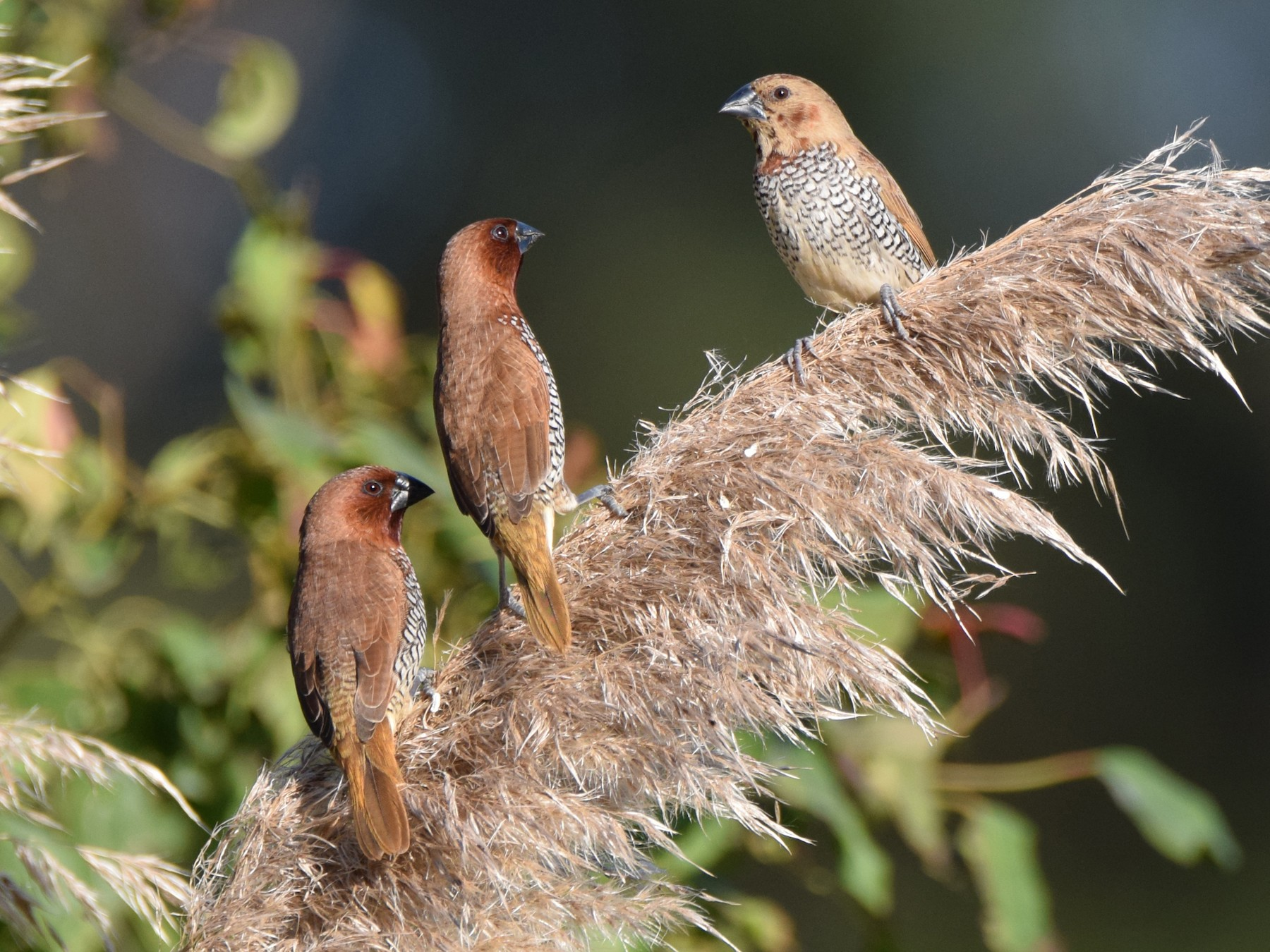 Scaly-breasted Munia - Perry Doggrell