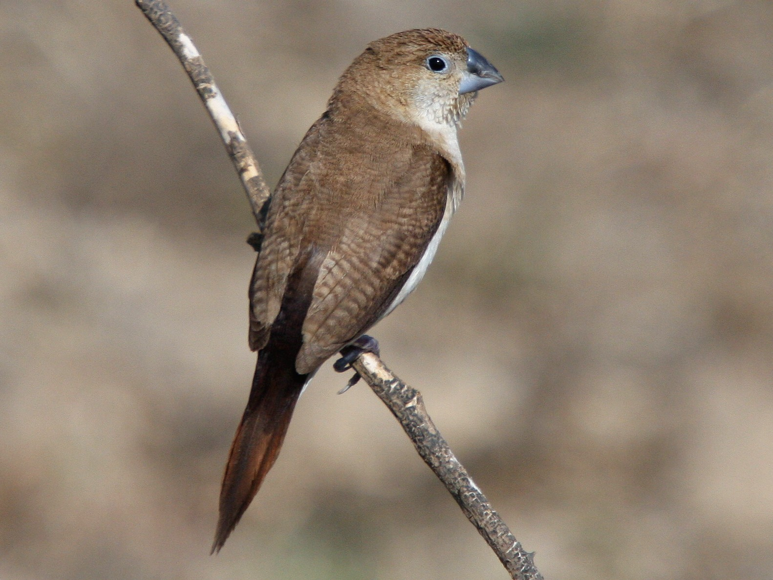 African Silverbill - Christoph Moning