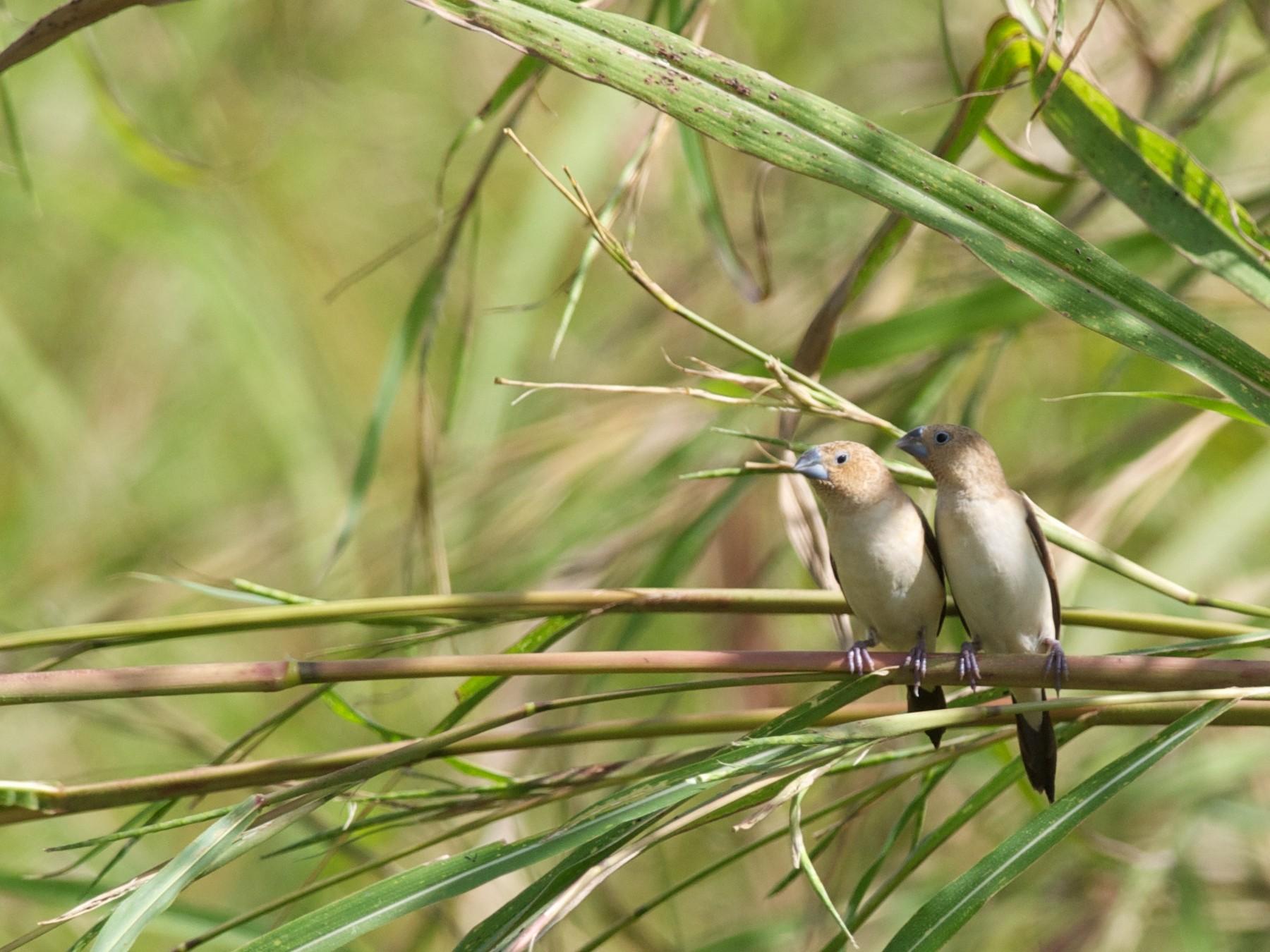African Silverbill - Amanda Guercio