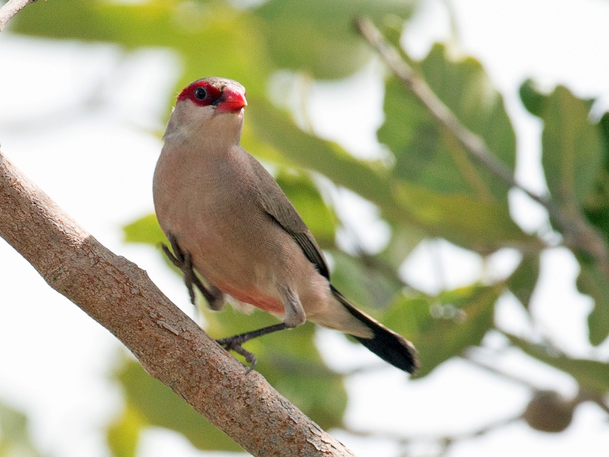 Black-rumped Waxbill - Chris Wood