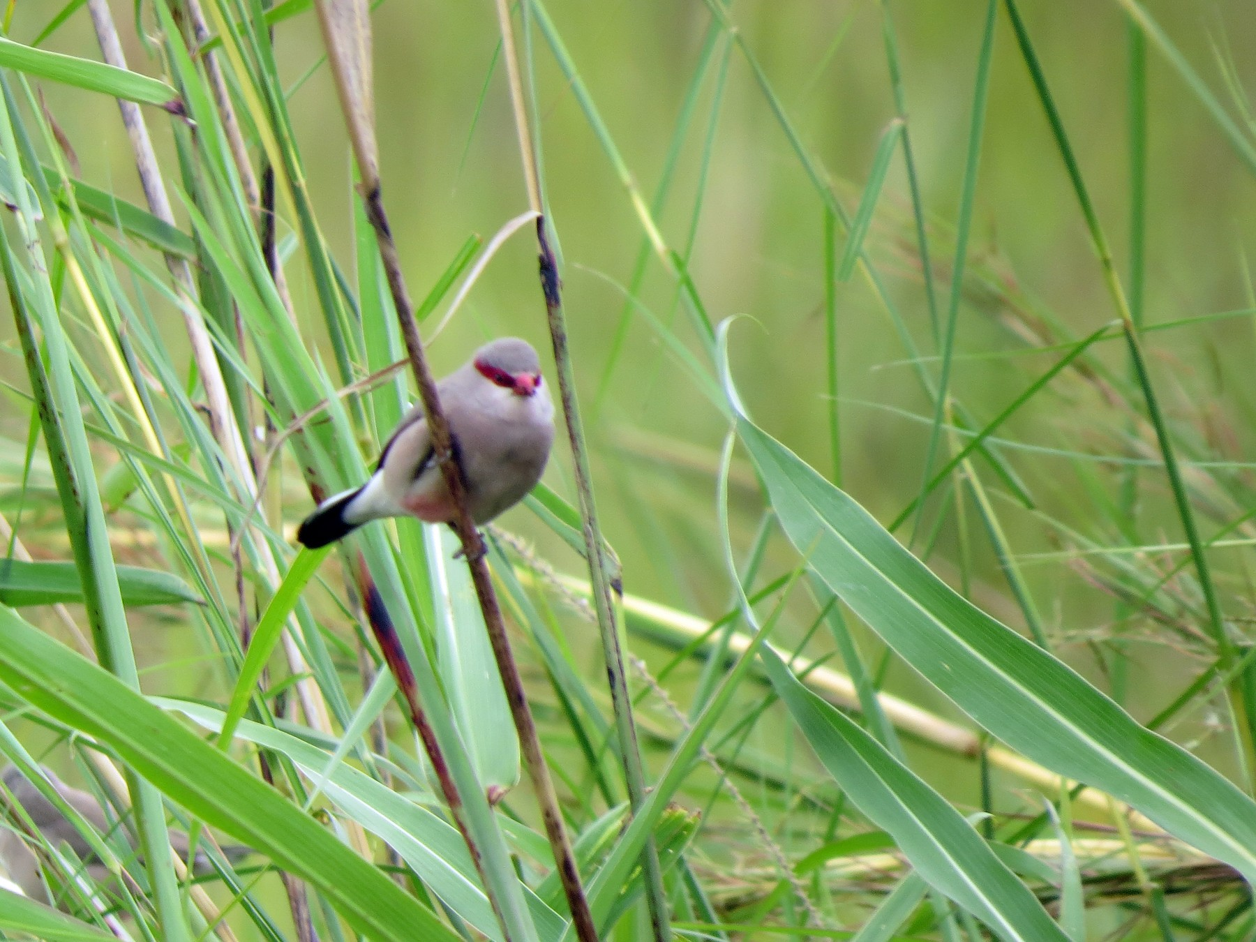 Black-rumped Waxbill - James Bradley