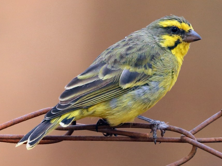 Yellow-fronted Canary - Nigel Voaden