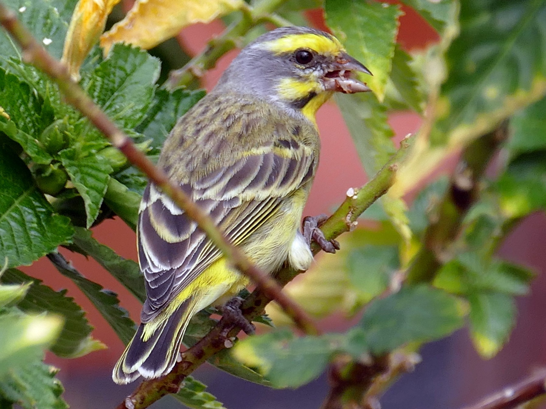 Yellow-fronted Canary - Lorrie Anderson