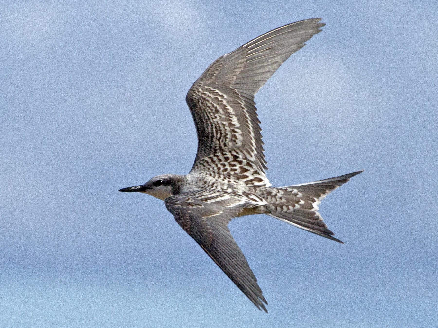 Gray-backed Tern - Eric VanderWerf