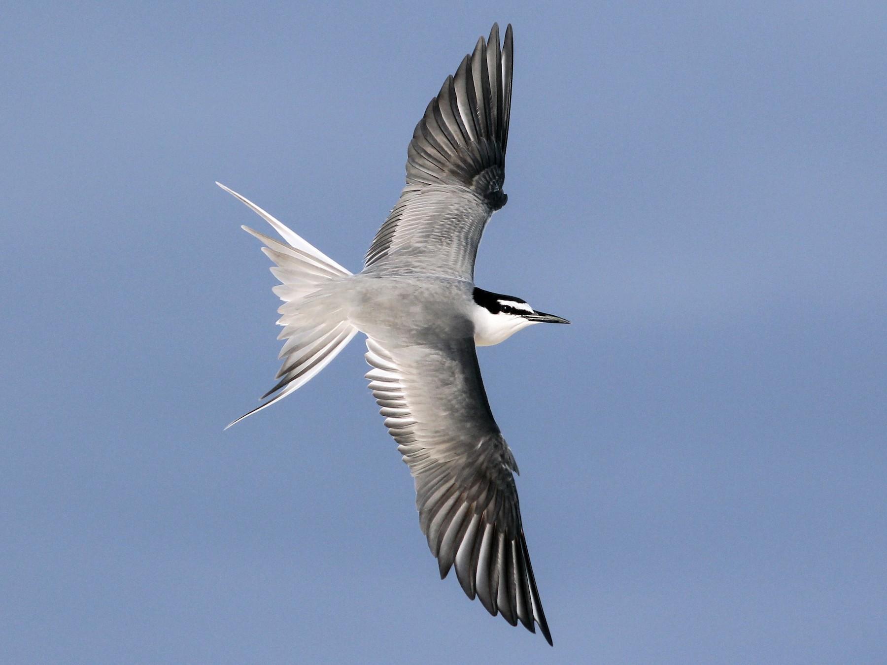 Gray-backed Tern - Cameron Rutt