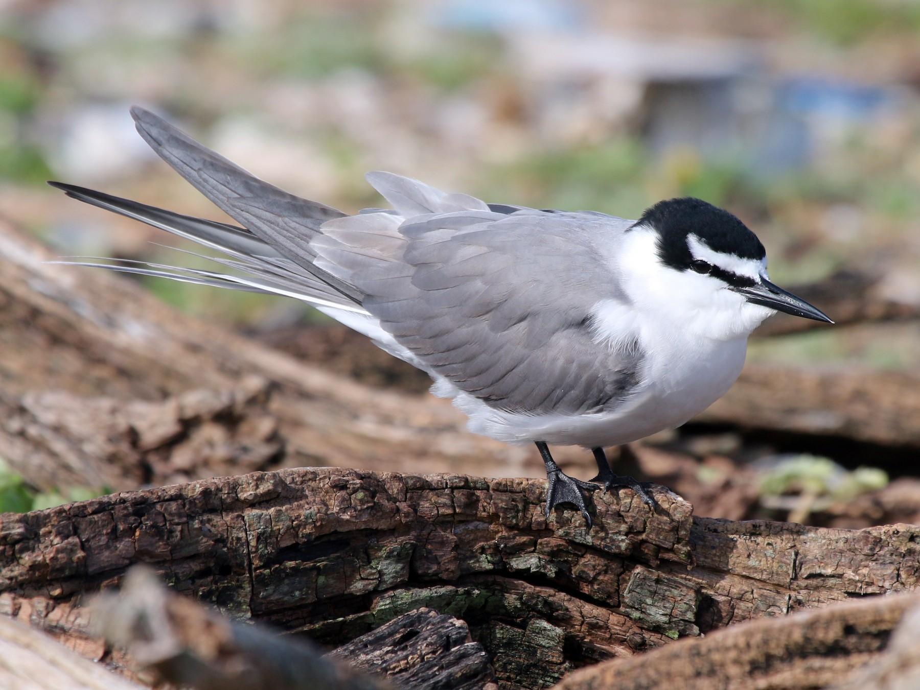 Gray-backed Tern - Jonathan Plissner