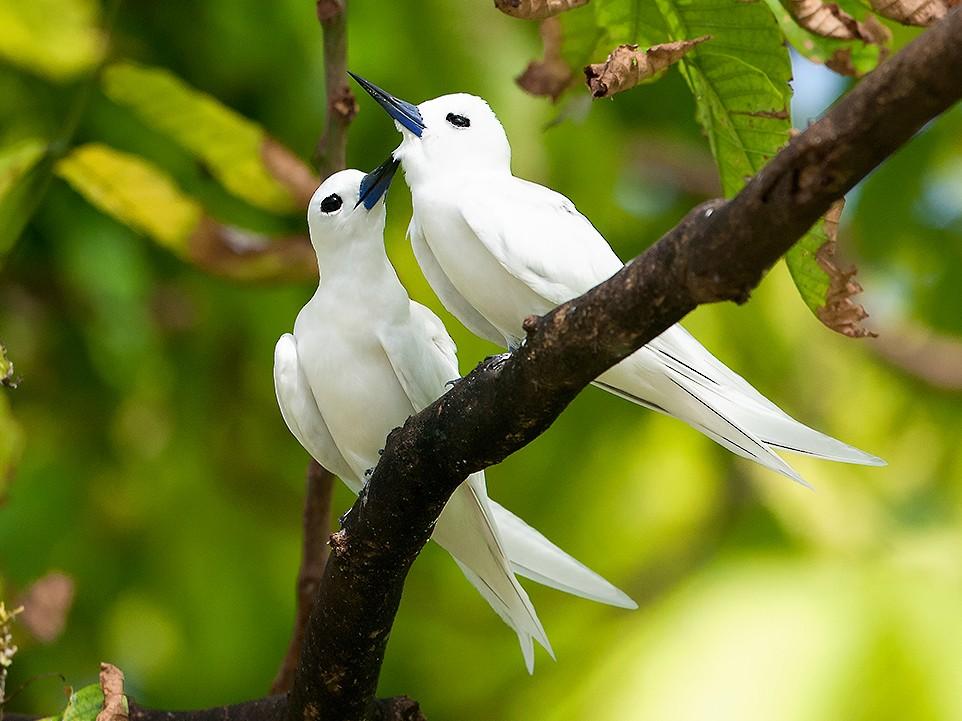 White Tern - Tony Palliser