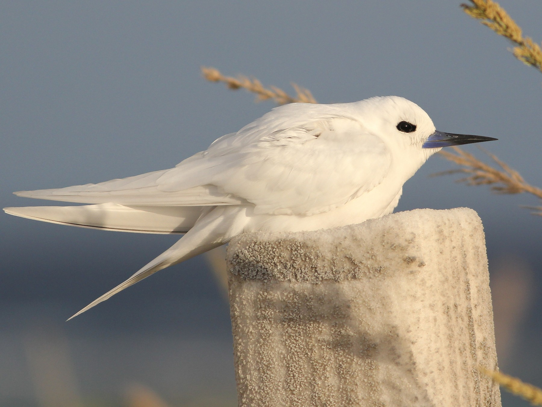 White Tern - Cameron Rutt