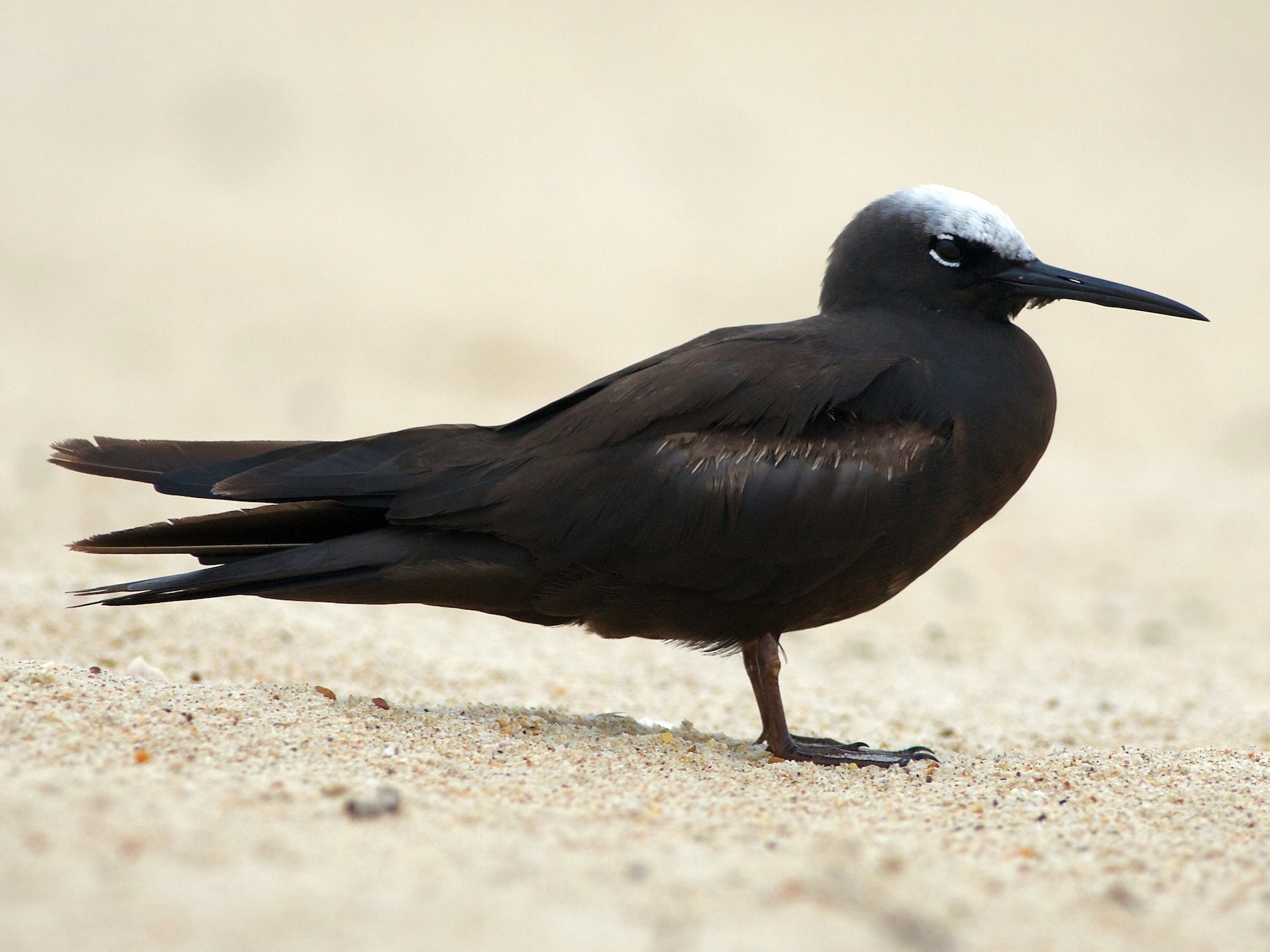 Black Noddy - Liam Murphy